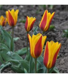 Cibule tulipánov do skalky - Tulipán Stresa - jesenné cibuľoviny - 3 ks