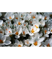 Krókus Ard Schenk - Crocus chrysanthus - cibuľky - 3 ks