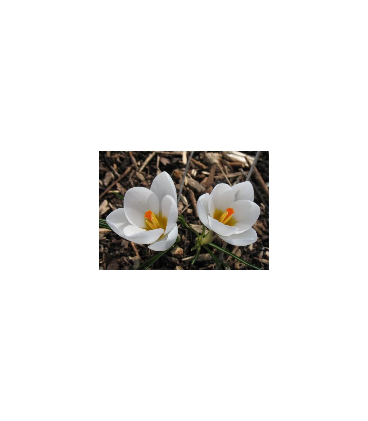 Krókus Miss Vain - Crocus biflorus - predaj cibuľovín - 3 ks