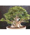 Fikus tajvanský - Ficus retusa - semiačka - 5 ks