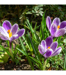 Krókus King of striped - Crocus - cibuľky krókusov - 3 ks