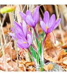 Krókus siaty - Šafrán - Crocus sativus - Cibuľky - 3 ks