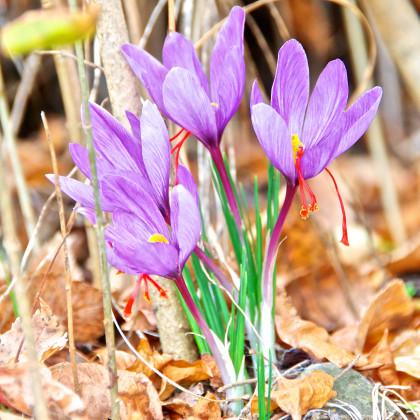 Krókus siaty - Crocus sativus - predaj cibuľovín - 3 ks