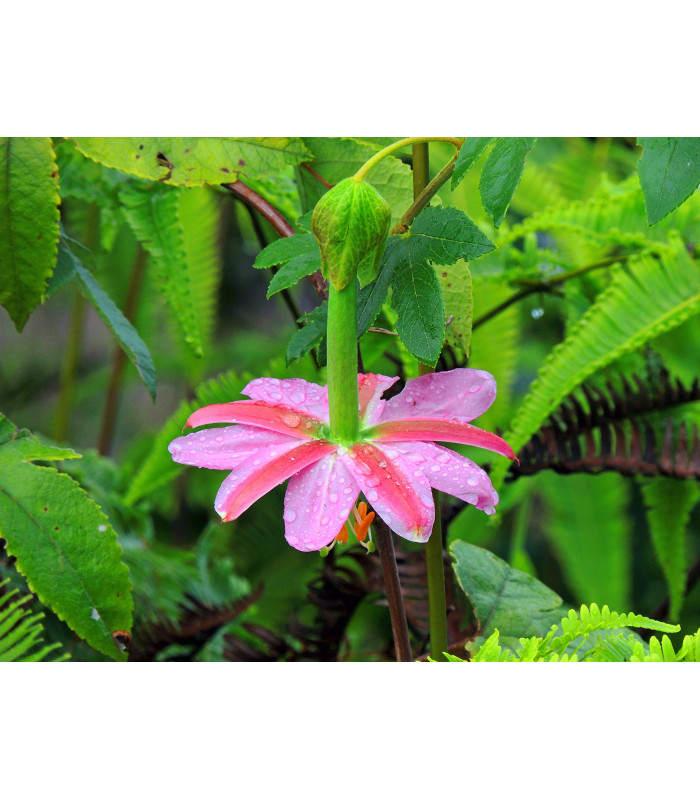 Mučenka banánová - Passiflora mollissima - semiačka - 5 ks