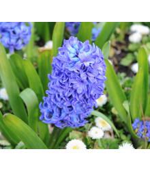 More about Hyacint - Sky jacket - cibule hyacintov - 1 ks