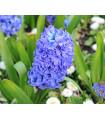 Hyacint - Sky jacket - cibule hyacintov - 1 ks