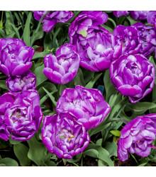 Tulipán Blue Diamond - Tulipa blue diamond - cibuľoviny - 3 ks