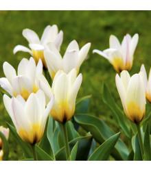 Cibuľky tulipánov - Tulipán Concerto - predaj cibulí - 3 ks