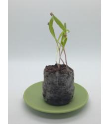 Veľké sadbovacie tablety - Jiffy - rašelinové zakoreňovače - veľ. 33 mm - 1 ks