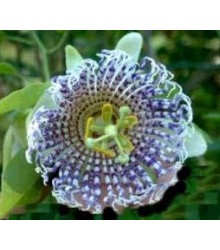 Mučenka krídlatá - Passiflora actinia - semiačka - 4 ks