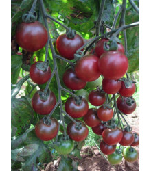 Paradajka Rosella - Cherry rajčiny - Lycopersicon esculentum - predaj semien - 6 Ks