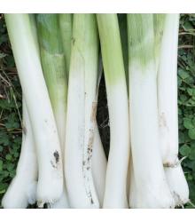 Semienka bio póru - Pór Hannibal - predaj BIO semien - 0,1 g