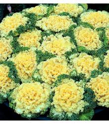 Okrasná kapusta Nagoya F1 biela - Brassica oleracea - predaj semien - 20 ks