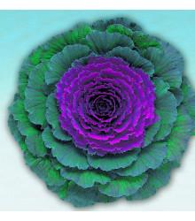 Okrasná kapusta Pigeon F1 Purple - Brassica oleracea - predaj semien - 20 ks