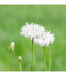 Nevädza lúčna biela - Centaurea cyanus - predaj semien - 45 ks