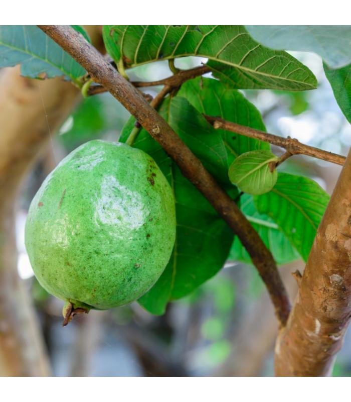 Guave - Psidium guajava - semiačka - 4 ks