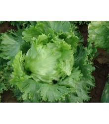 Šalát hlávkový ľadový Traper - Lactuca sativa L. - predaj semien šalátu - 250 ks