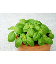 BIO Bazalka zelená - BIO semiačka - Ocimum Basilicum - 200 ks
