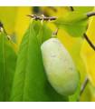 Paw Paw - indiánsky banán - Asimina triloba - semiačka - 4 ks