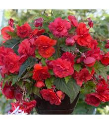 Begónia Red Glory - Begonia odorata - previsnuté voňavé begónie - cibuľoviny - 2 ks