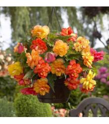 Begónia Golden Balcony - Begonia tuberhybrida - begónie na balkóny - cibuľoviny - 2 ks