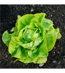 BIO Šalát hlávkový maslový Sylvesta - predaj bio semien - Lactuca sativa - 100 ks