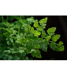 BIO Trebuľka siata Fijne Krul - Anthriscus cerefolium crispum - bio semená - 400 ks