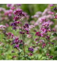 Bio Pamajorán obyčajný - Origanum vulgare - bio semená - 0,3 g