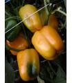 Paprika Mystery - Capsicum annuum - Semiačka - 15 ks