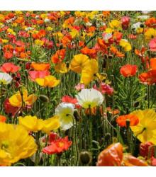 Mak islandský zmes farieb - Papaver nudicaule - semená - 50 ks