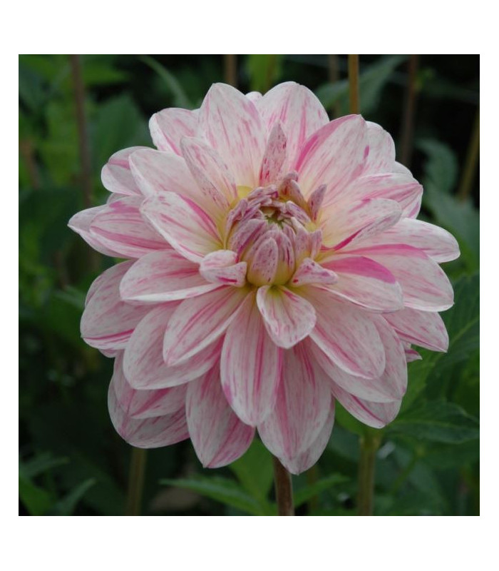 Jiřinka Bonesta - dekorační odrůda - Dahlia - cibuloviny - 1 ks