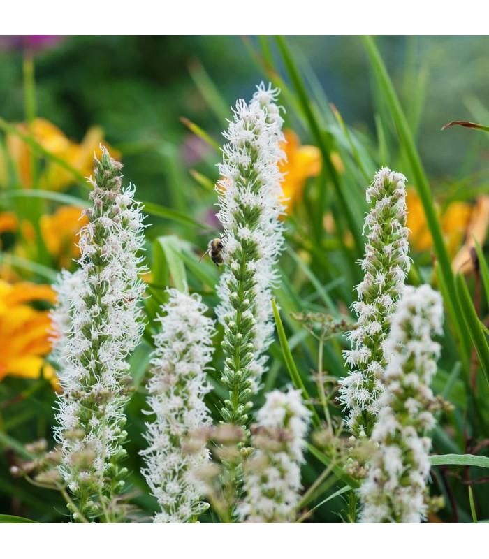 Šuškarda biela Alba - Liatris spicata - cibuľoviny - 5 ks