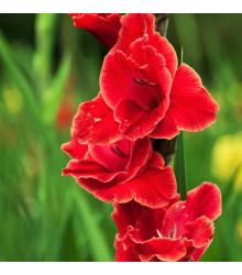 Mečík Atom - Gladiolus - cibuľoviny - 3 ks