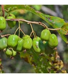 Minikiwi - Actinidia arguta - semiačka - 5 ks