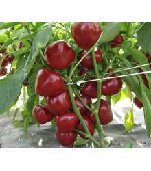Paradajková paprika Dumas - Capsicum annuum - predaj semien - 15 ks