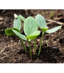 Tekvica figolistá k vrúbľovaniu - Cucurbita ficifolia - semená - 10 ks