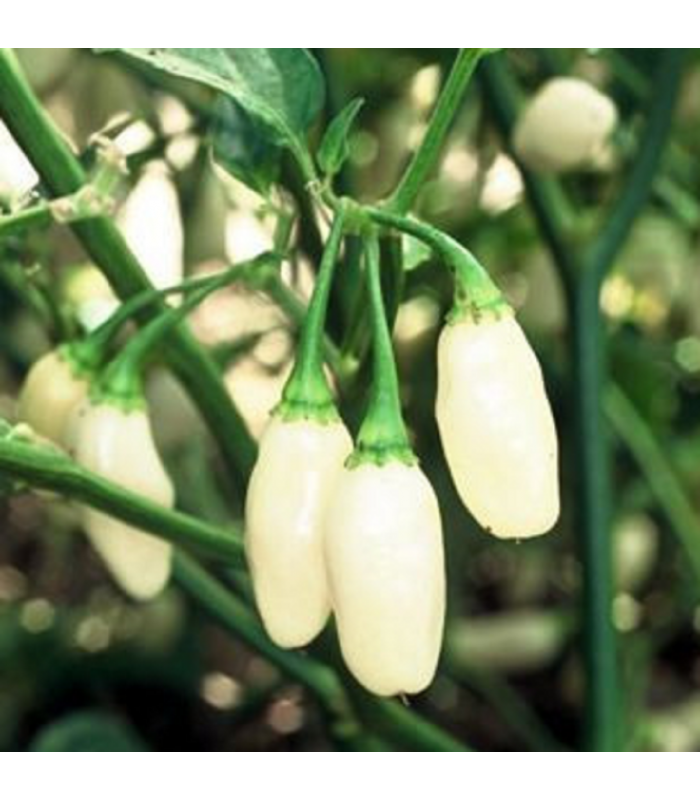 Chilli Habanero biele - Semená chilli - Capsicum annuum - 6 ks