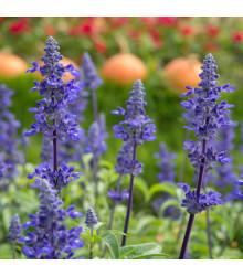 Šalvia modrá - Salvia farinacea -semiačka - 60 ks