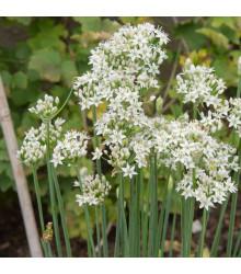 Pažítka čínska Kobold - Allium tuberosum - predaj semien - 130 ks