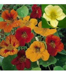 Kapucínka väčšia Lobbianum zmes farieb - Tropaeolum majus - semiačka - 10 ks