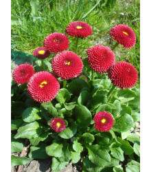 Sedmokráska ponponková červená - Bellis perennis - semiačka - 0,1 gr