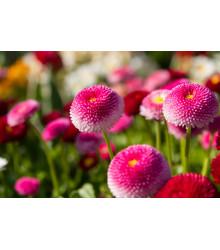 Sedmokráska ponponková ružová - Bellis perennis - semiačka - 0,1 gr