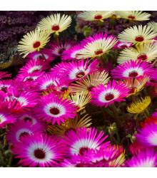 Poludňovkovec sedmokráskovitý - zmes farieb - Dorotheanthus belidiformis - semiačka - 0,3 gr