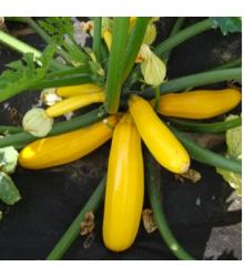 Cuketa Paladin F1 - Cucurbita pepo - tekvica - predaj semien - 10 ks