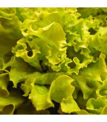 BIO Šalát hlávkový Maikönig - Lactusa sativa - bio semená predaj - 0,1 g
