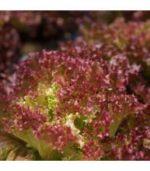 BIO Šalát listový kučeravý Lollo Rossa - Lactusa sativa - bio semená predaj - 0,1 g