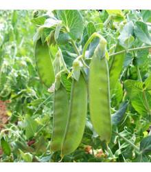 BIO Hrach cukrový Sweet Horizon - extra sladká odroda - Pisum sativum - bio semienka - 10 g