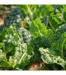 BIO Špenát siaty Matador - Spinacia oleracen - bio semienka - 1 g