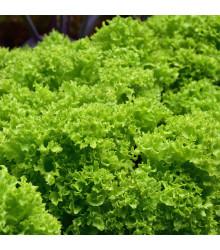 BIO Šalát listový kučeravý Lollo Bionda - Lactusa sativa - bio semienka - 0,1 g