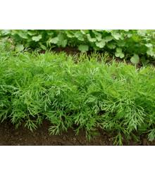 Kôpor voňavý Ella - Anethum graveolens - predaj semien - 400 ks